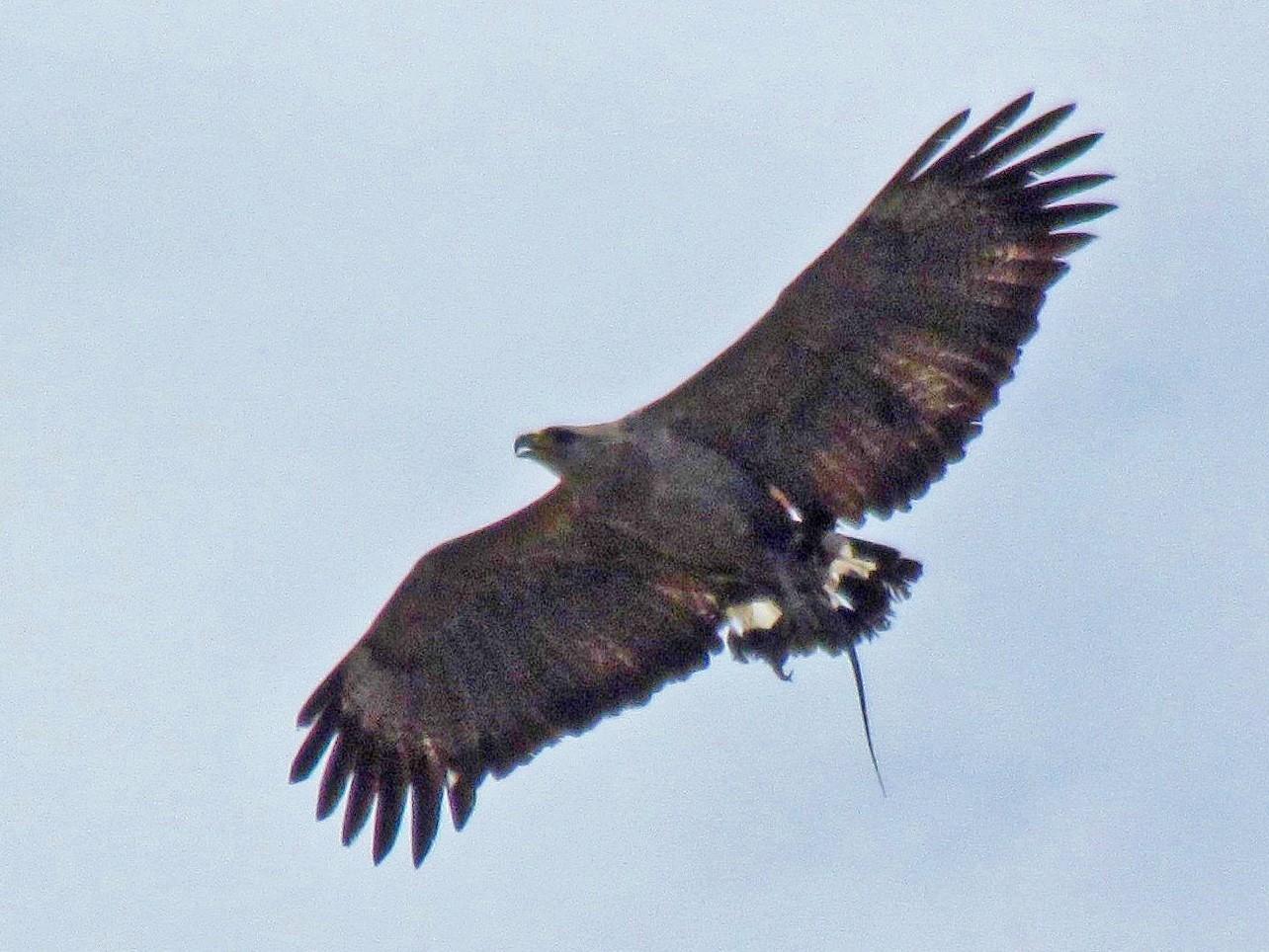 Chaco Eagle - Hugo Hulsberg