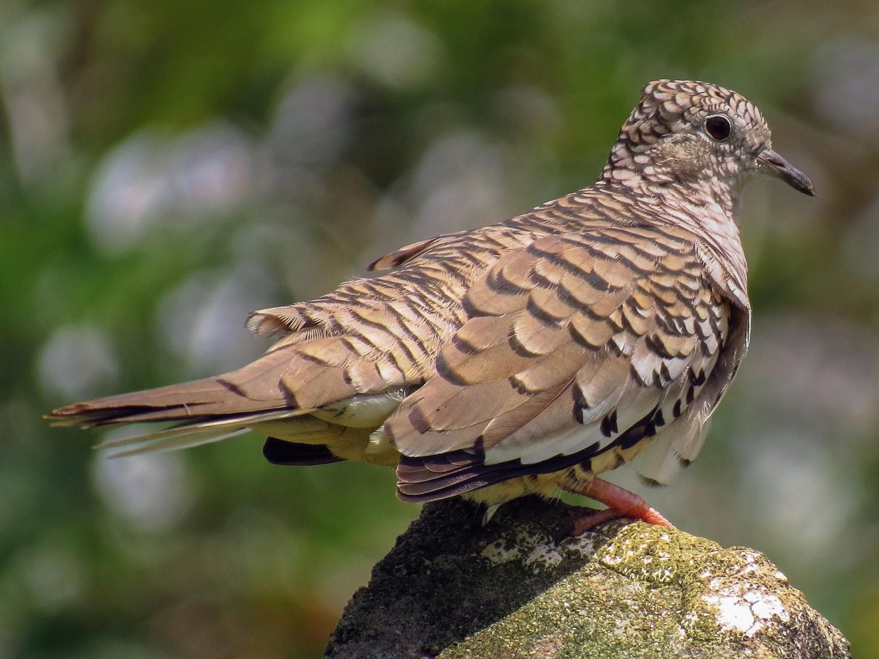 Scaled Dove - Jorge Muñoz García   CAQUETA BIRDING