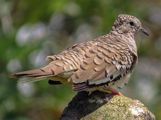 - Scaled Dove