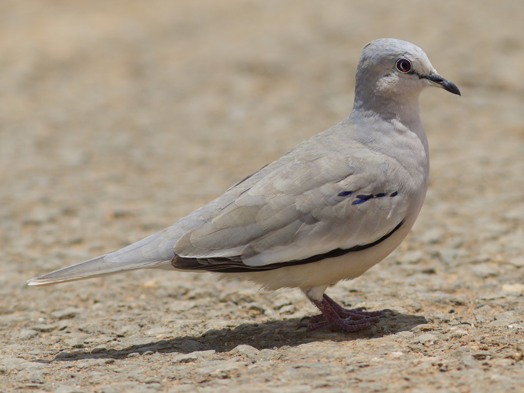 Picui Ground Dove - Luiz Matos
