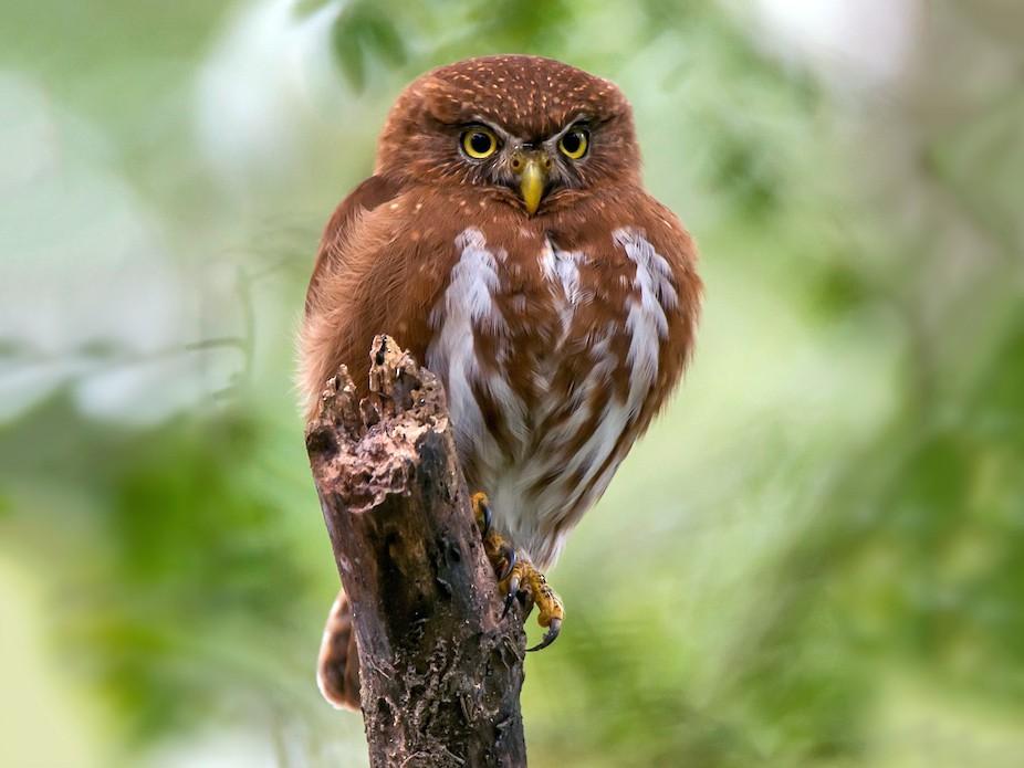 Least Pygmy-Owl - Leonardo Merçon / Instituto Últimos Refúgios