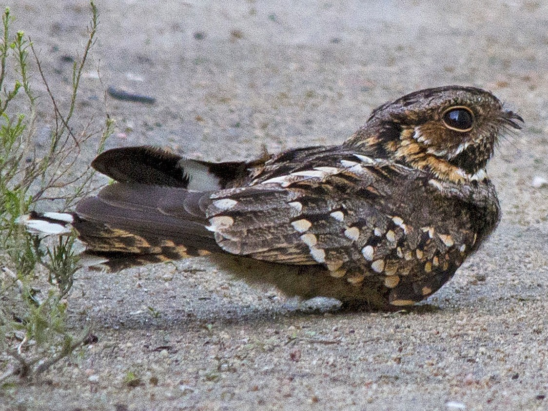 Little Nightjar - Gabriel Bonfa