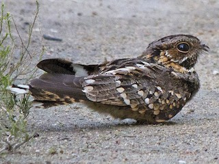 - Little Nightjar