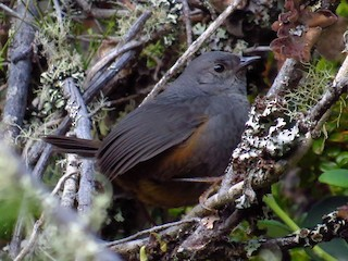 - Brown-rumped Tapaculo