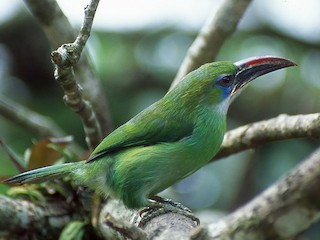 - Groove-billed Toucanet (Groove-billed)