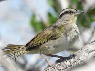 - Tocuyo Sparrow