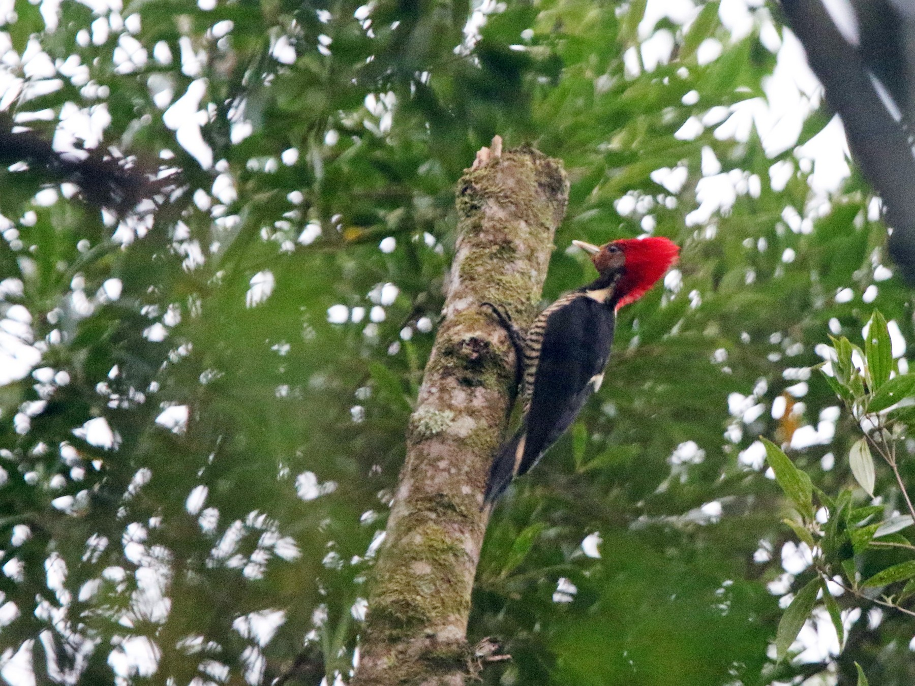 Helmeted Woodpecker - Ian Thompson