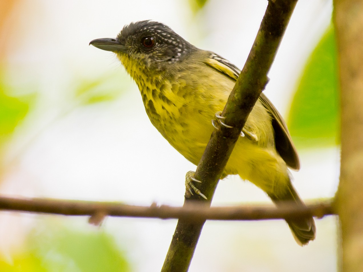 Spot-breasted Antvireo - Joao Quental JQuental
