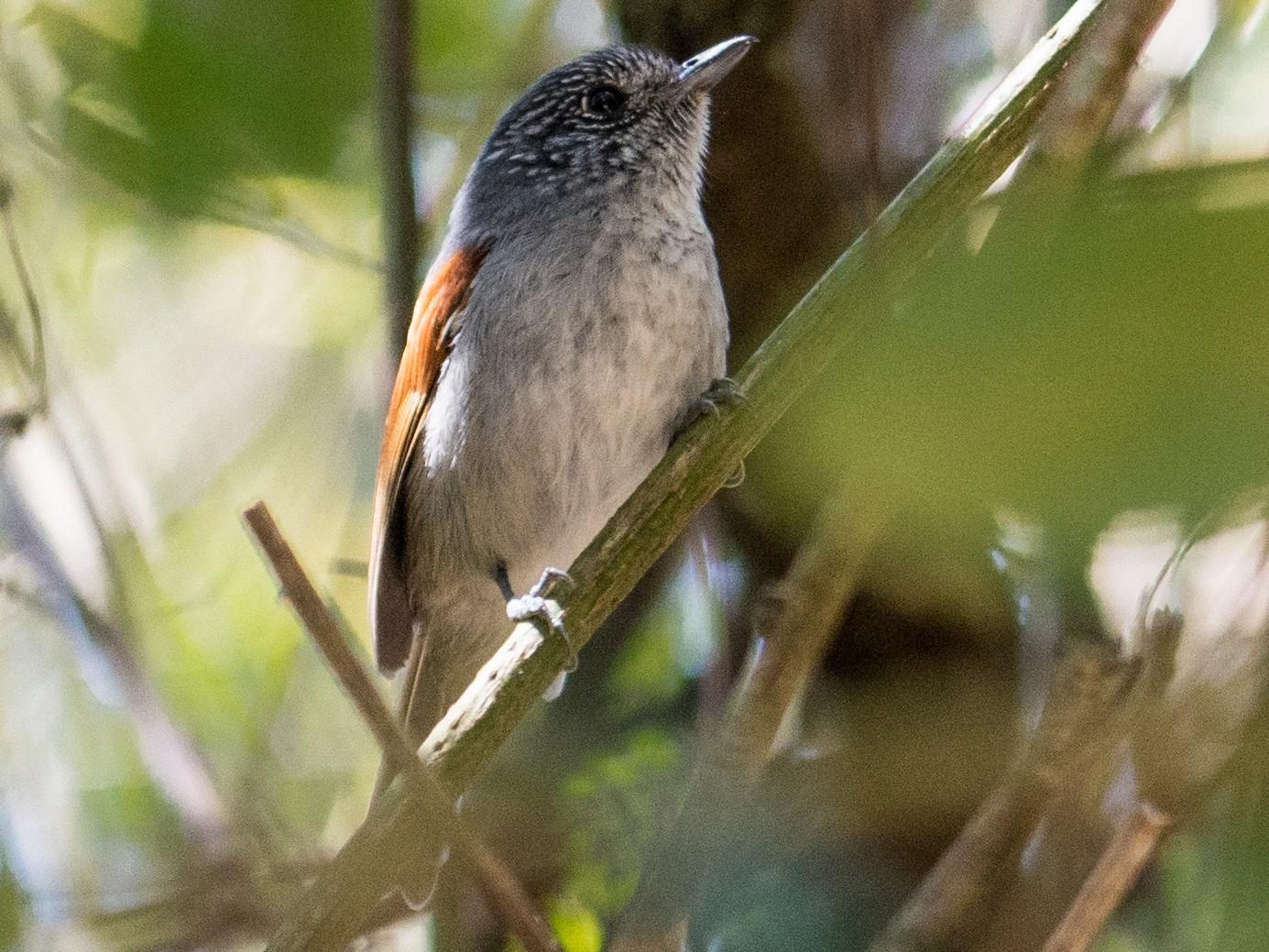 Rufous-backed Antvireo - Hudson - BirdsRio