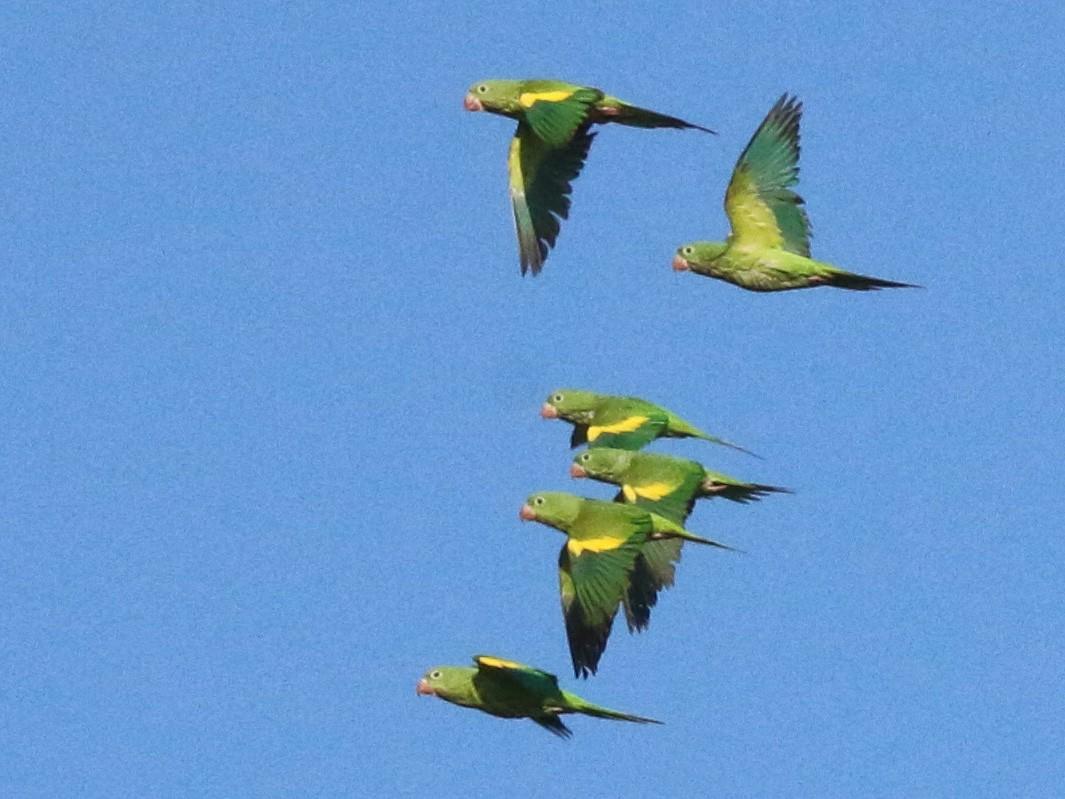 Yellow-chevroned Parakeet - Ira Blitz