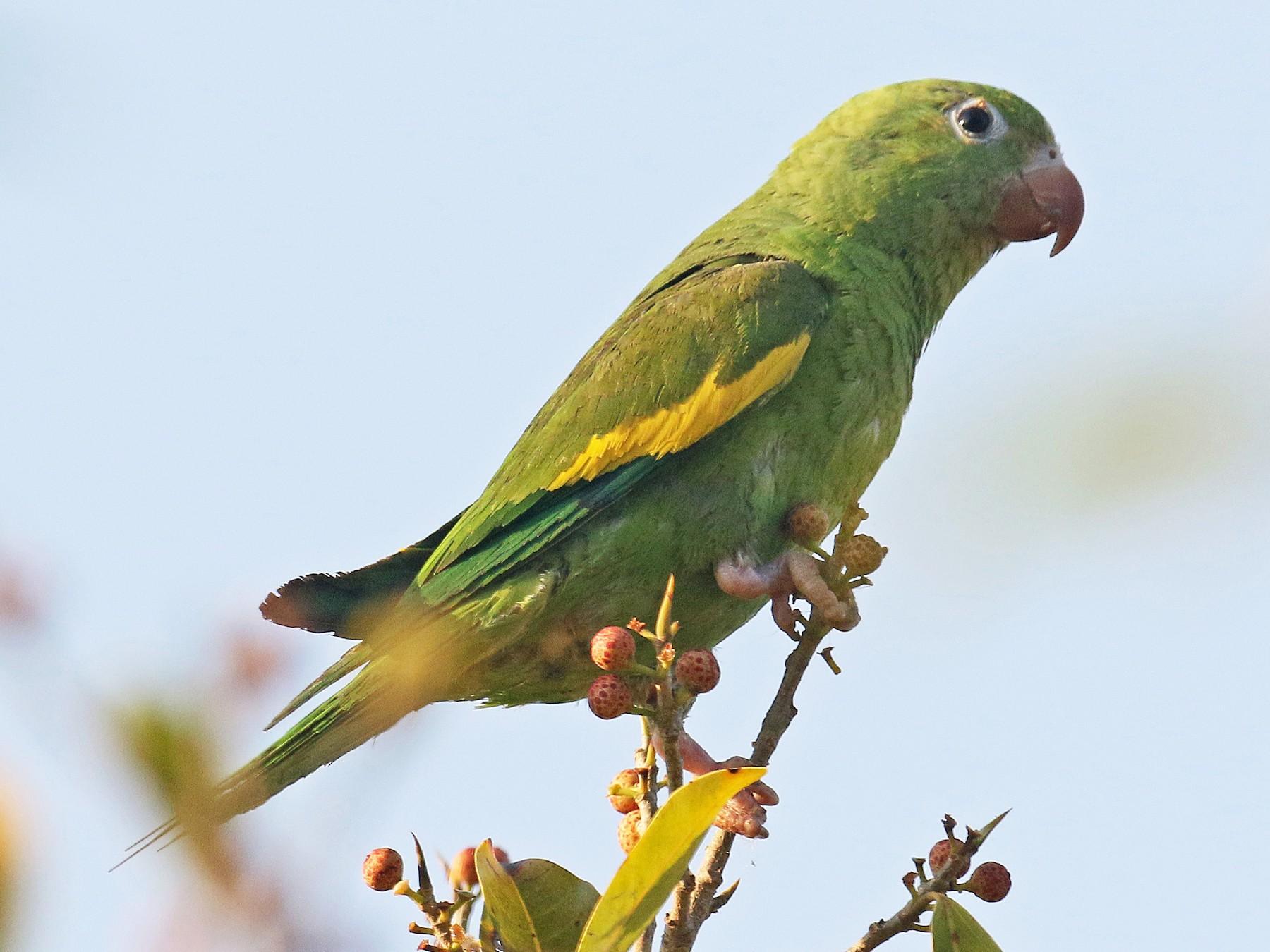 Yellow-chevroned Parakeet - David Lang