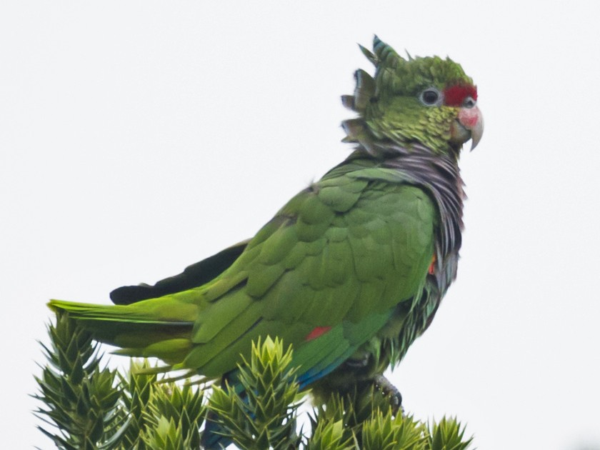 Vinaceous-breasted Parrot - Claudia Brasileiro