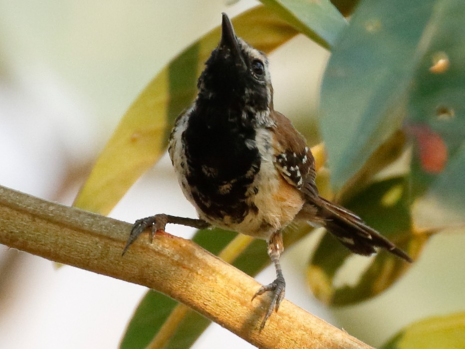 Rusty-backed Antwren - Dave Curtis
