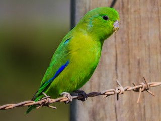 Blue Winged Parrotlet Forpus Xanthopterygius Birds Of The World
