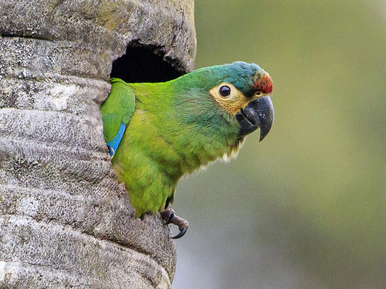 Blue-winged Macaw - Fernando Farias