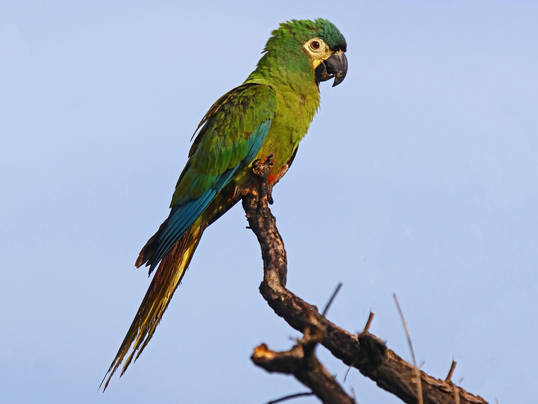 Blue-winged Macaw - Carmen Lúcia Bays Figueiredo