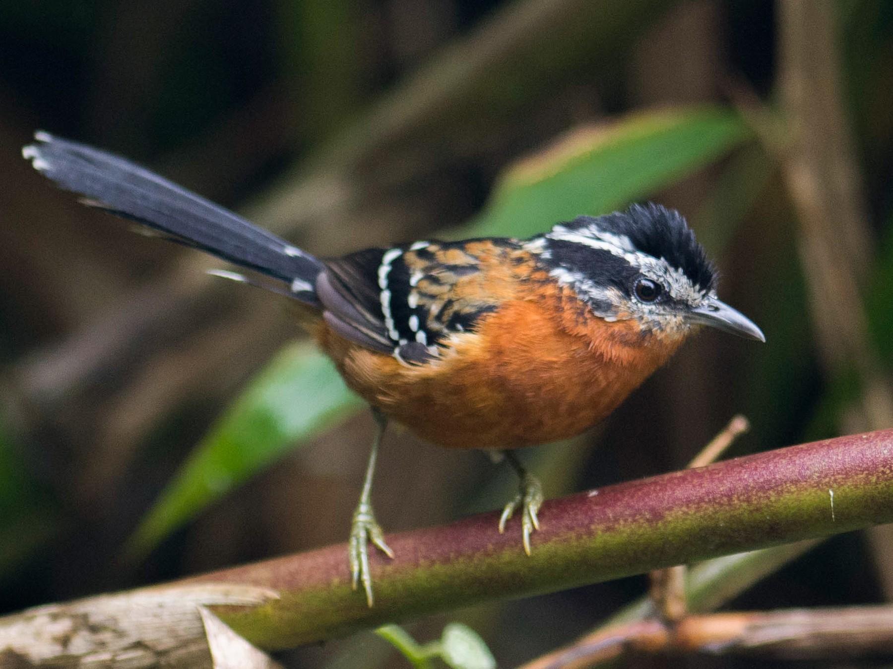 Ferruginous Antbird - Hudson - BirdsRio