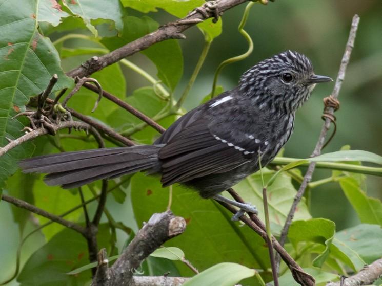Dusky-tailed Antbird - Tom Johnson
