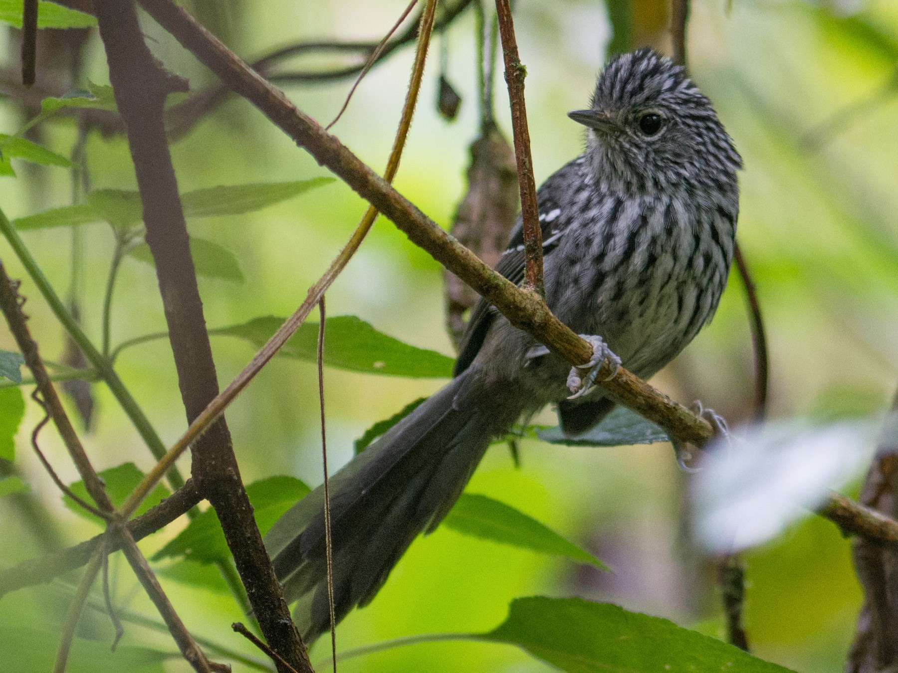Dusky-tailed Antbird - Hudson - BirdsRio
