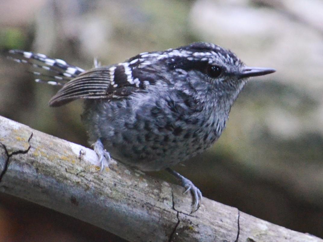 Scaled Antbird - Ben Phalan