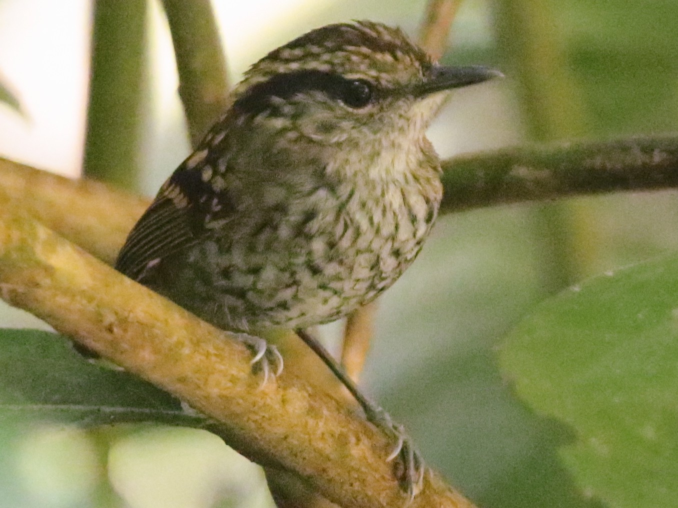 Scaled Antbird - Arco Huang