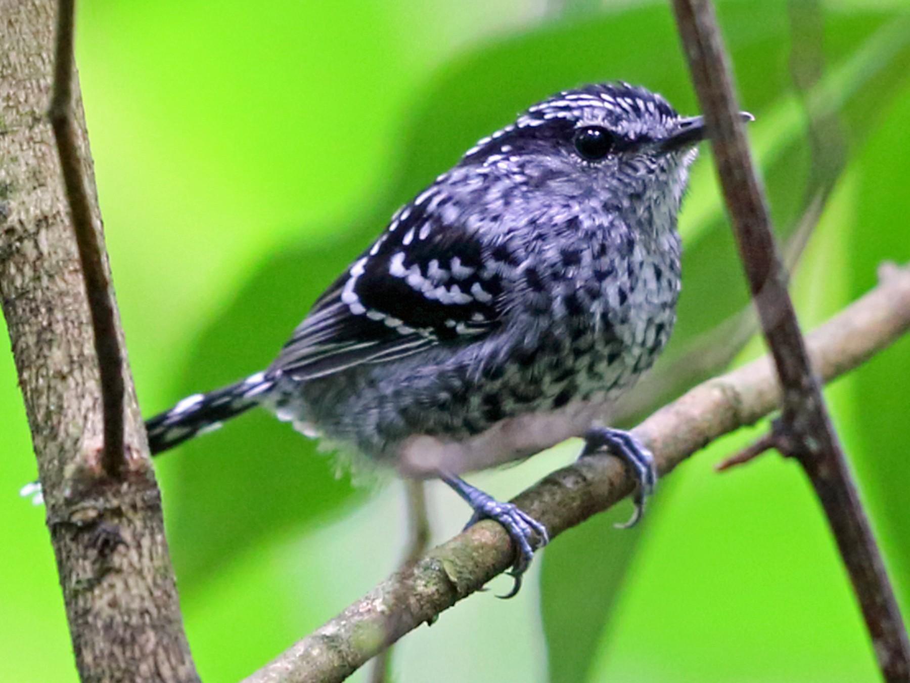 Scaled Antbird - Nigel Voaden
