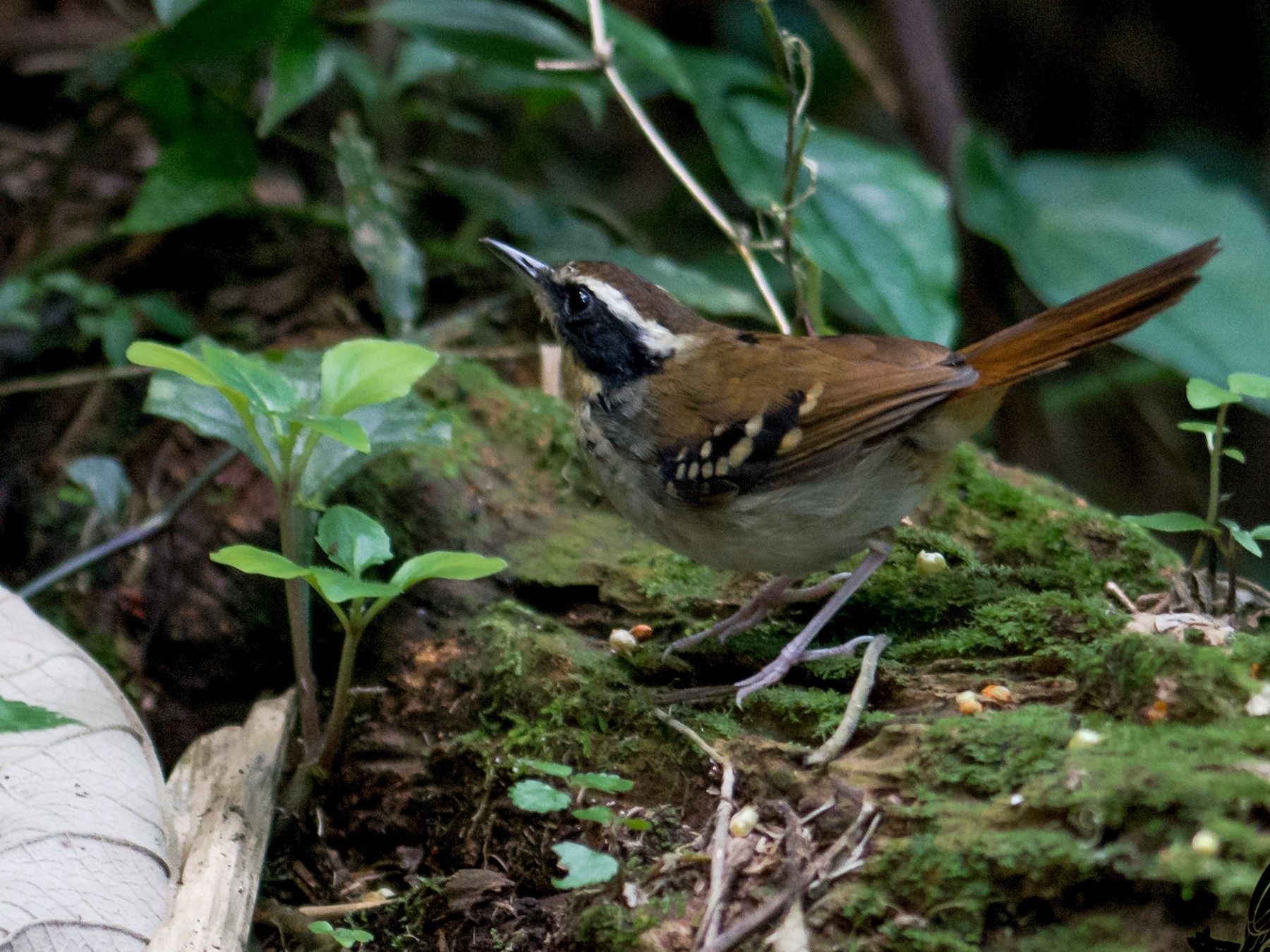 White-bibbed Antbird - Hudson - BirdsRio