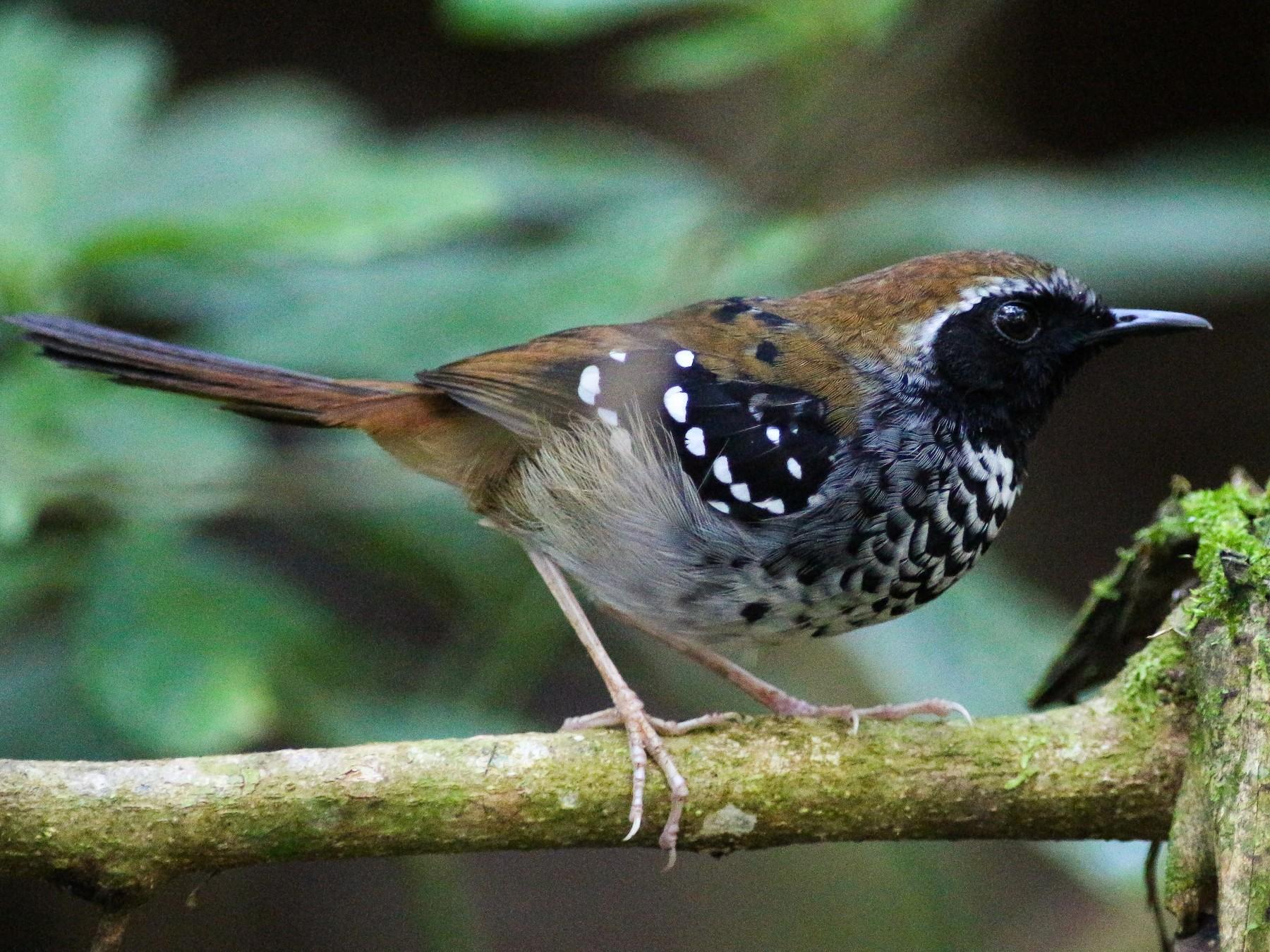 Squamate Antbird - Projeto  Dacnis