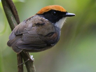- Black-cheeked Gnateater