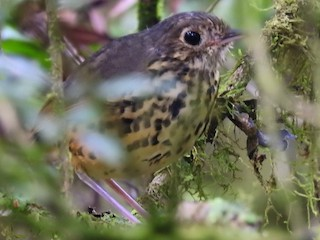 - Speckle-breasted Antpitta