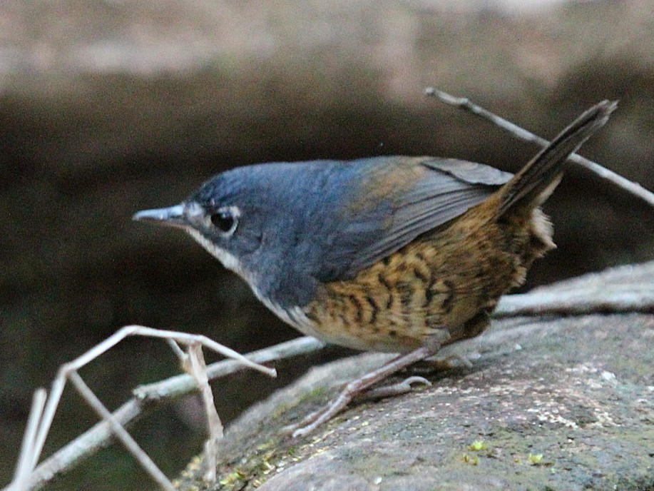 White-breasted Tapaculo - Alexander Lees