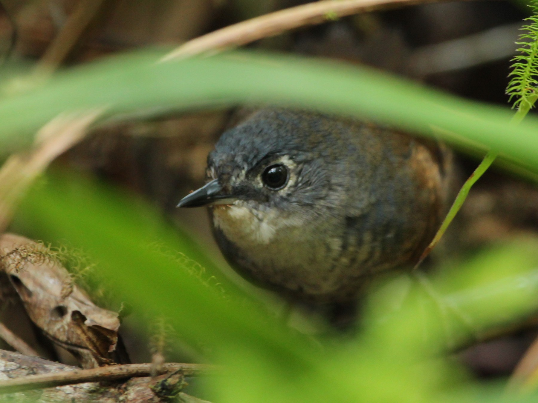 White-breasted Tapaculo - Marcelo Morena