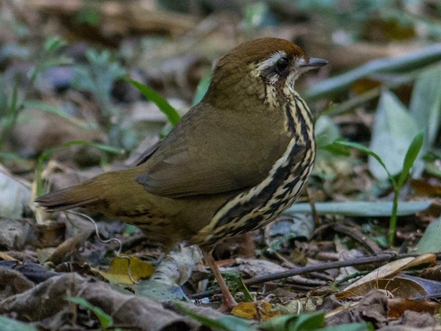 Such's Antthrush - Hudson - BirdsRio