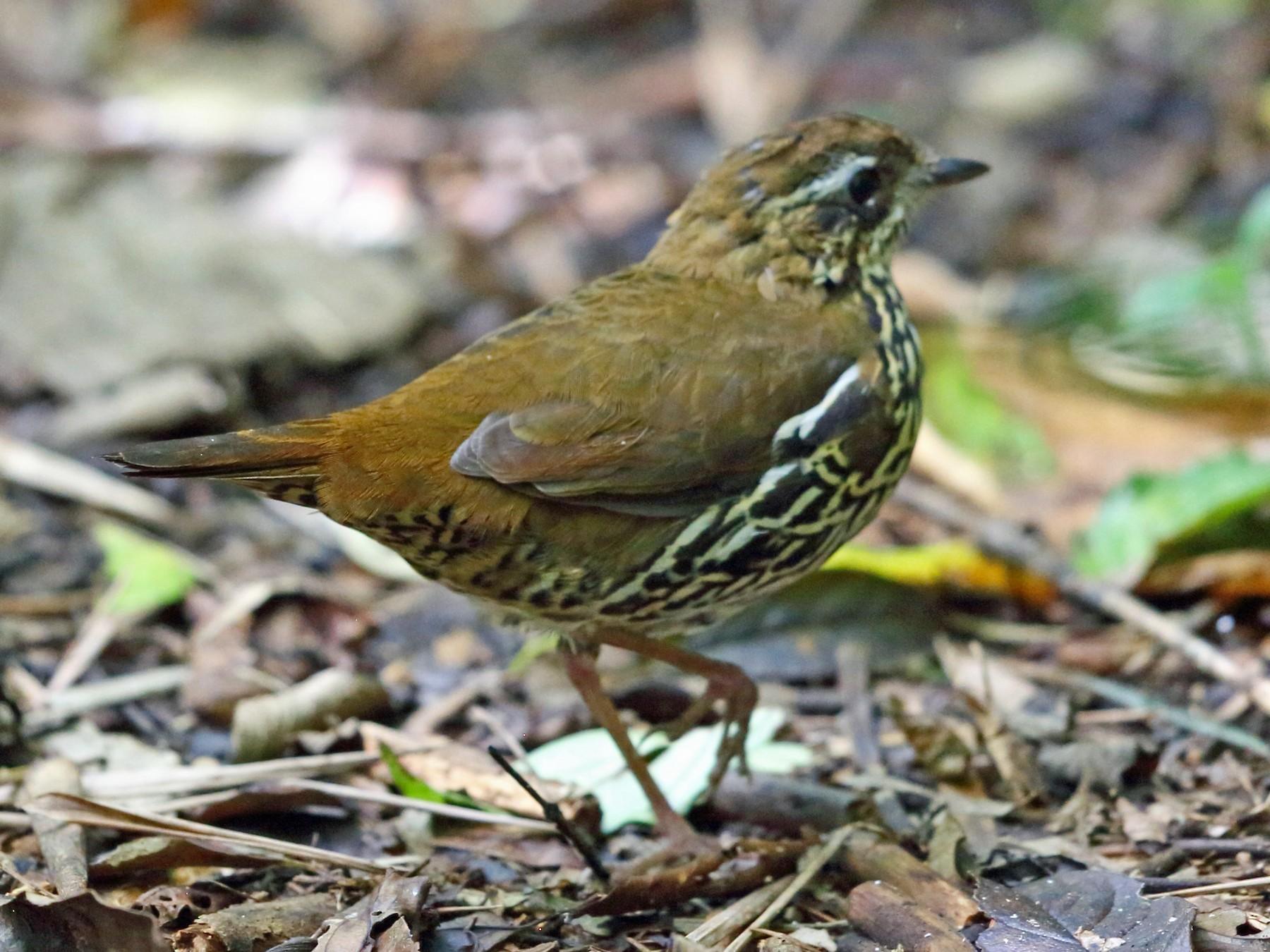 Rufous-tailed Antthrush - Nigel Voaden