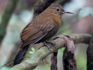 - Rufous-breasted Leaftosser (Rufous-breasted)