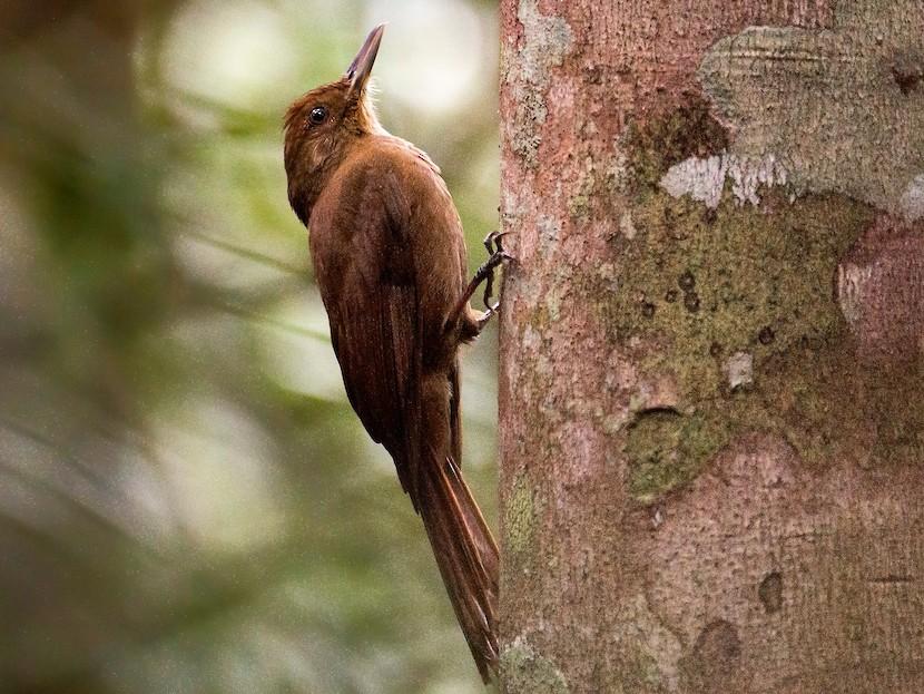 Plain-winged Woodcreeper - Leonardo Merçon / Instituto Últimos Refúgios