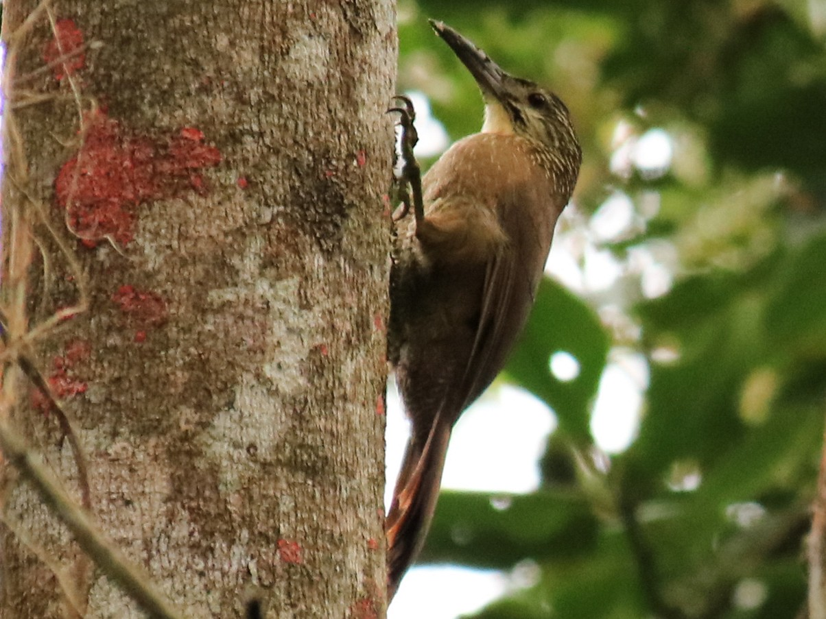 White-throated Woodcreeper - Warren Bielenberg