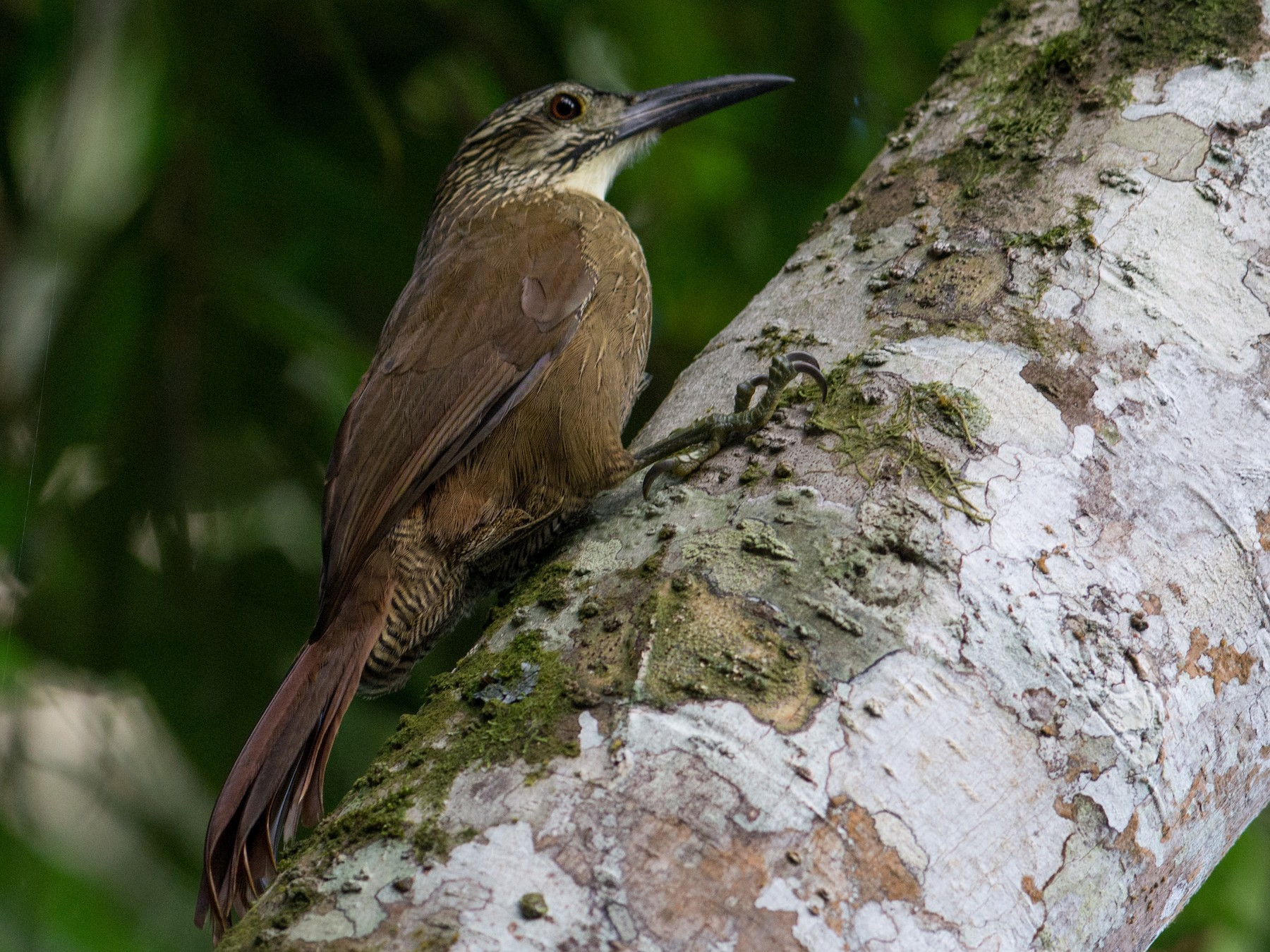 White-throated Woodcreeper - Hudson - BirdsRio