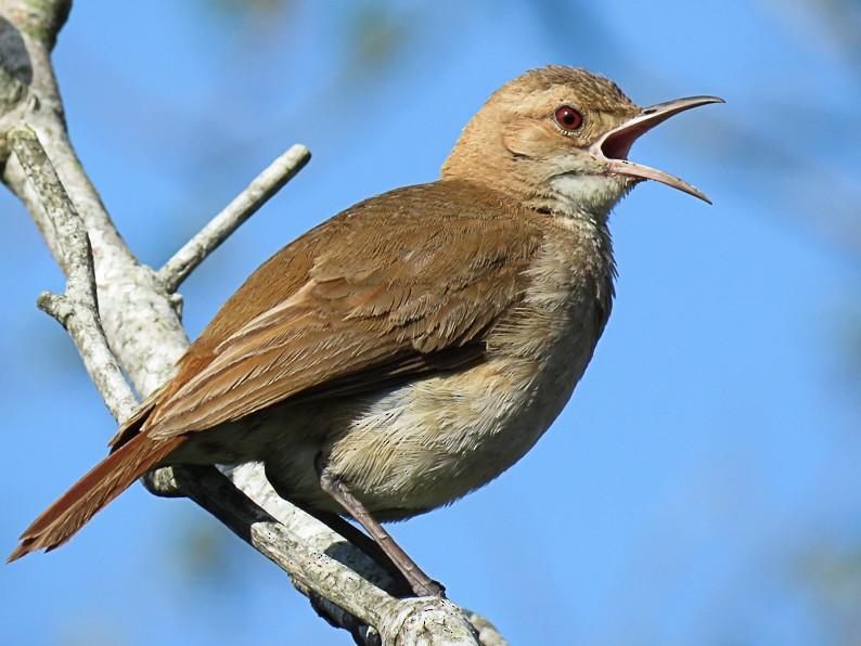 Rufous Hornero - Raphael Kurz -  Aves do Sul