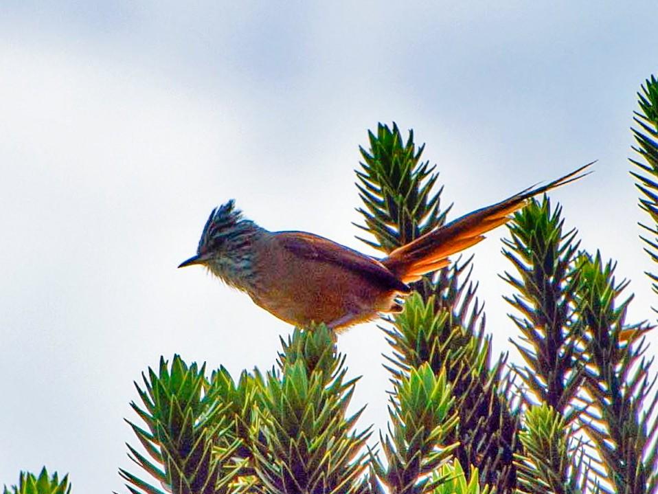 Araucaria Tit-Spinetail - Borralharas  Birding
