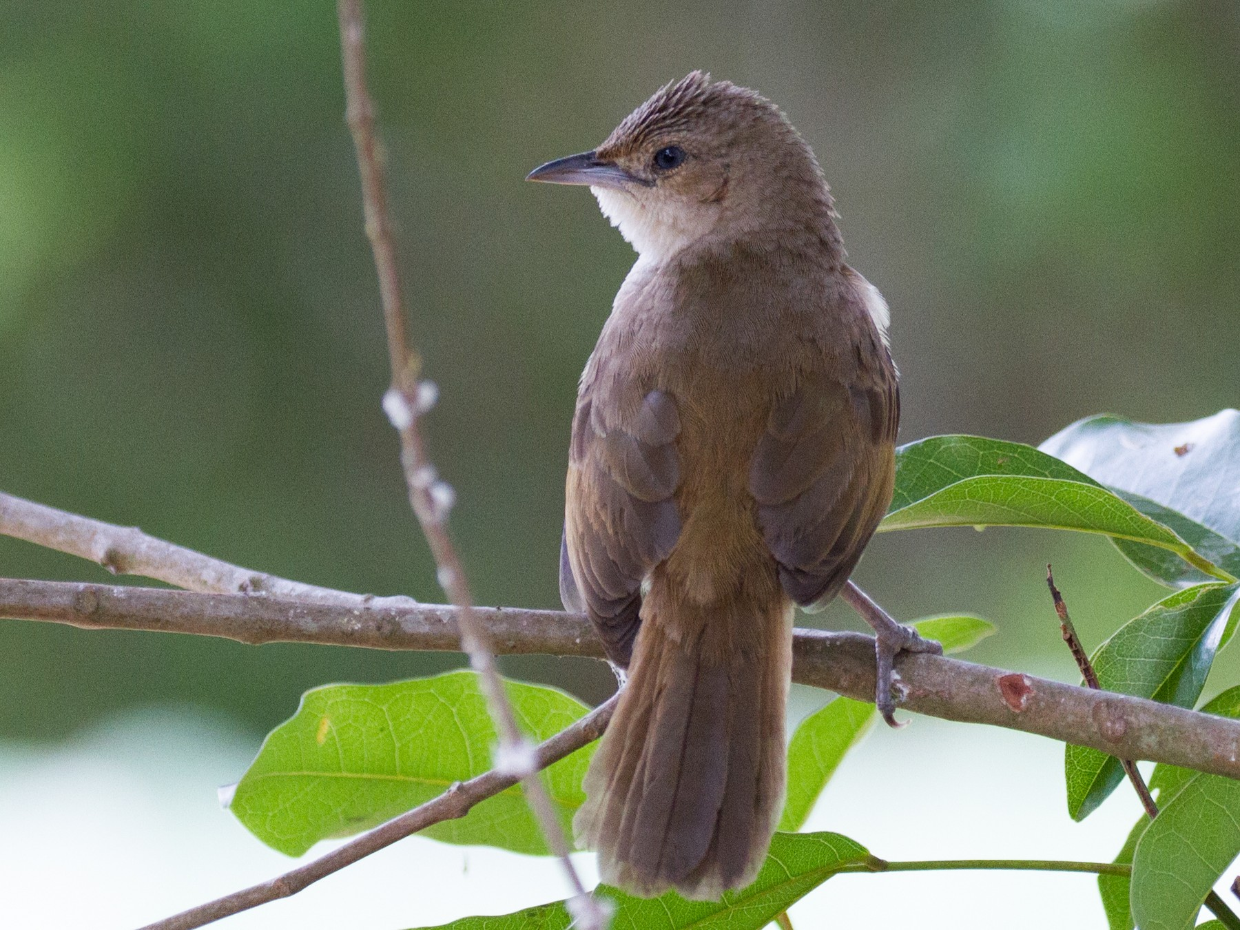 Rufous-fronted Thornbird - Justyn Stahl