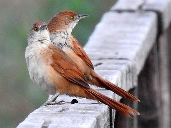 Greater Thornbird - Richard Garrigues