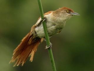 - Greater Thornbird