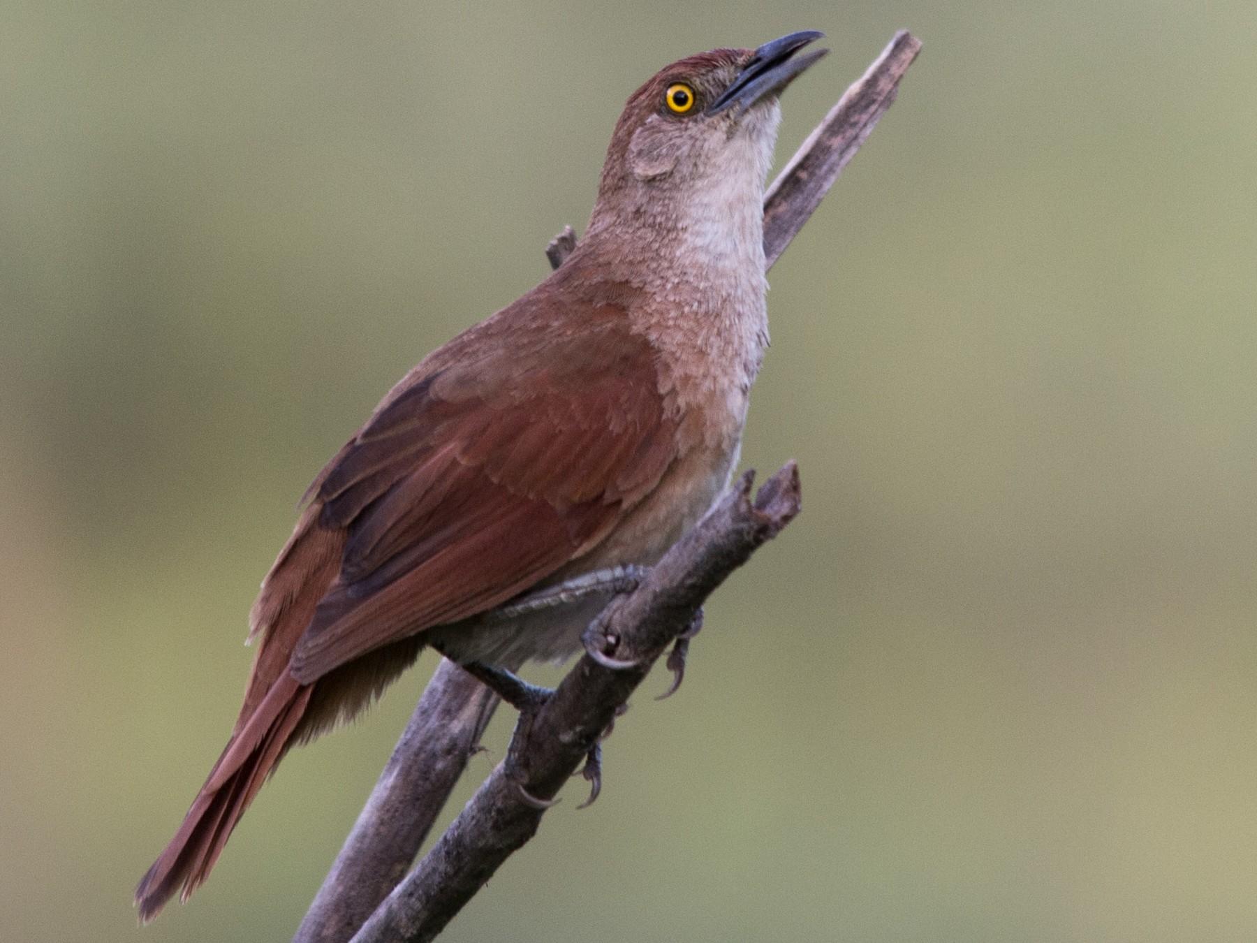Greater Thornbird - João Vitor Perin Andriola