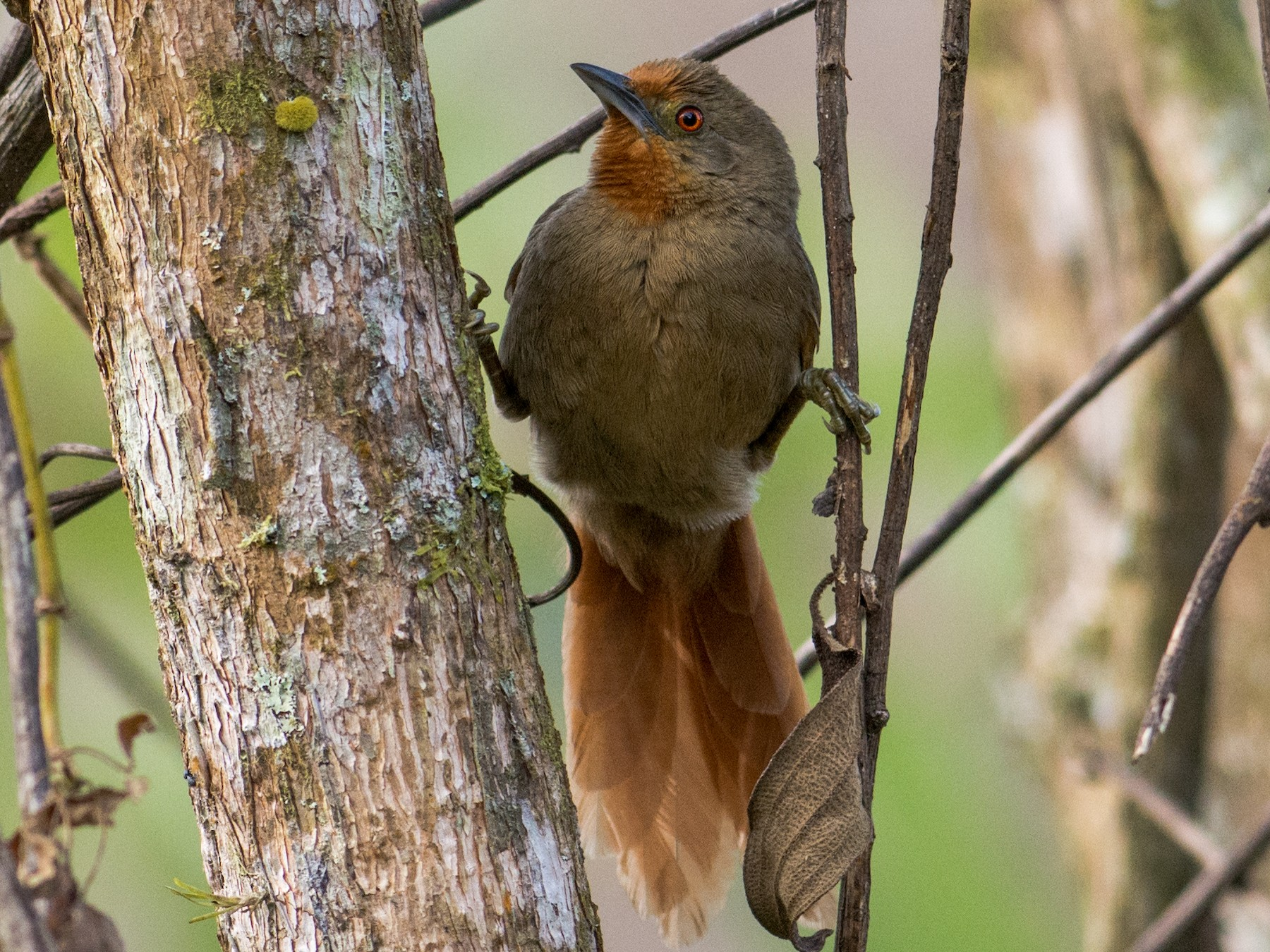 Espinero ojirrubio - Hudson - BirdsRio