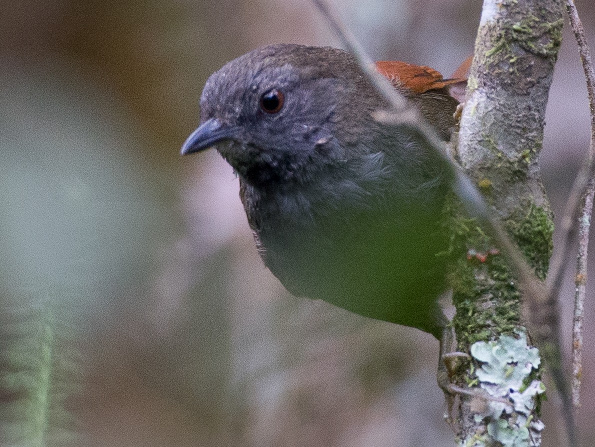 Gray-bellied Spinetail - Chris Wood