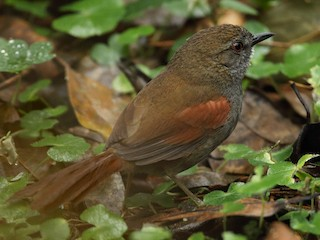- Gray-bellied Spinetail