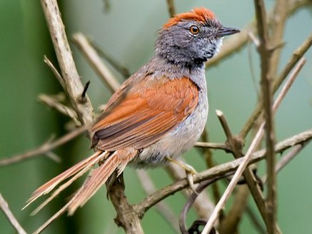 Sooty-fronted Spinetail - ADMILSON GOMES