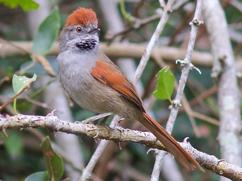 Sooty-fronted Spinetail - Luiz Matos