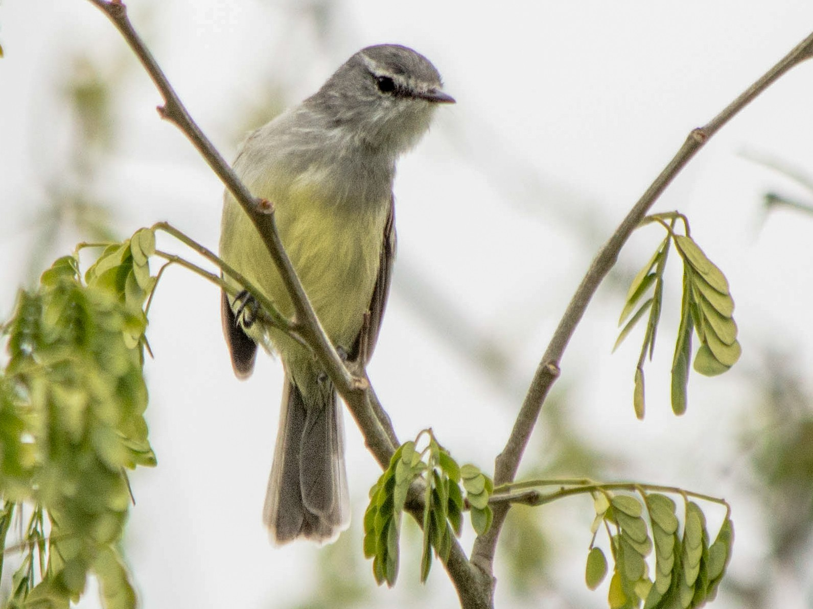 White-crested Tyrannulet - Vitor Gomes